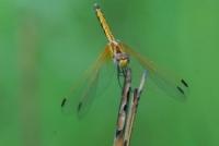 Nat6ChenjeziDragonfly.jpg
